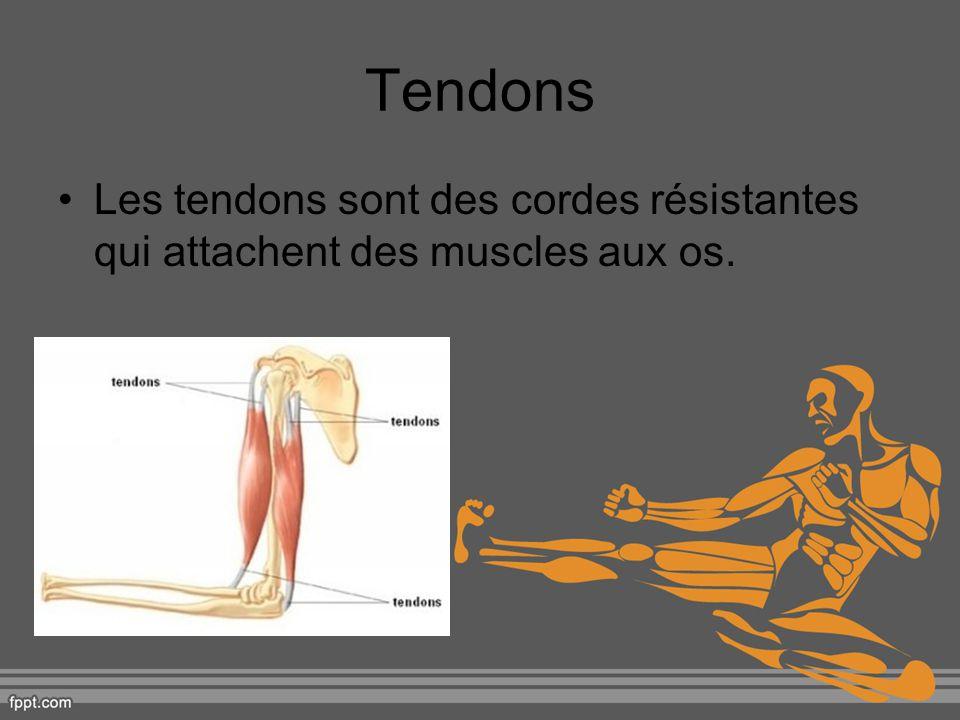 Tendons Les tendons sont des cordes résistantes qui attachent des muscles aux os.