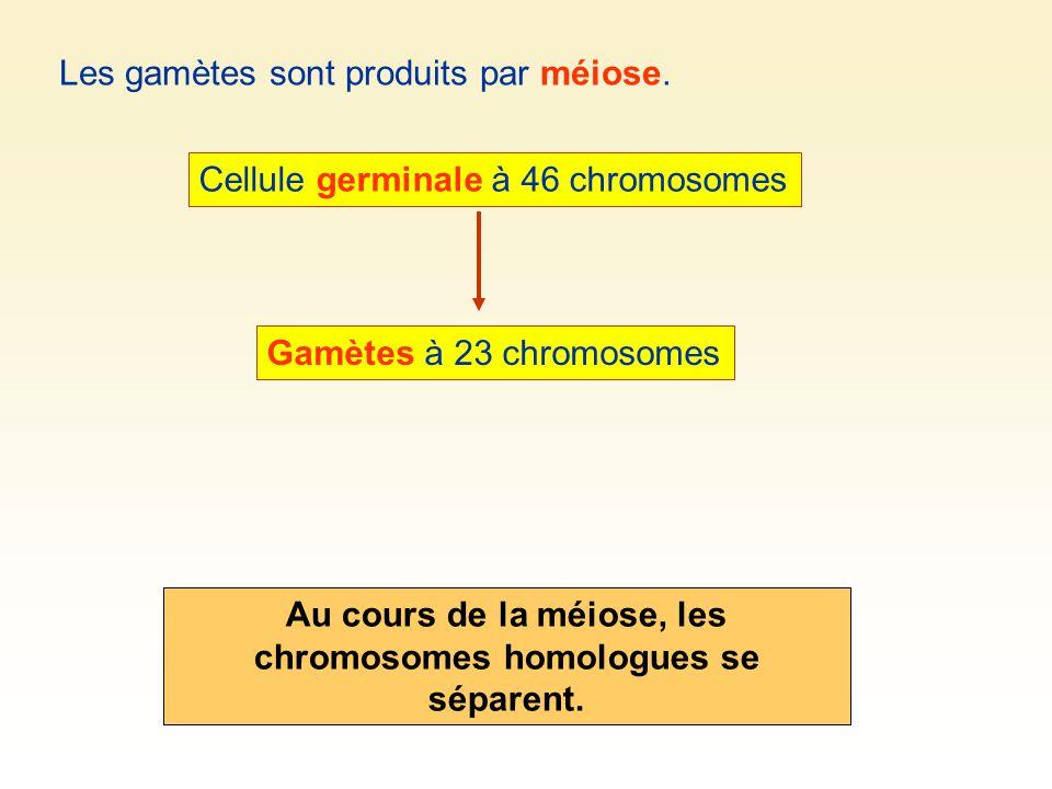 Les gamètes sont produits par méiose. Cellule germinale à 46 chromosomes Gamètes à 23 chromosomes Au cours de la méiose, les chromosomes homologues se