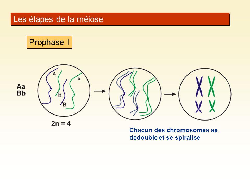 Les étapes de la méiose Chacun des chromosomes se dédouble et se spiralise Prophase I