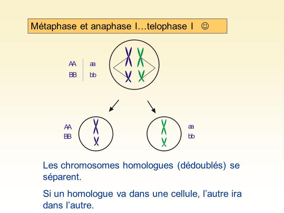 Métaphase et anaphase I…telophase I Les chromosomes homologues (dédoublés) se séparent. Si un homologue va dans une cellule, lautre ira dans lautre.