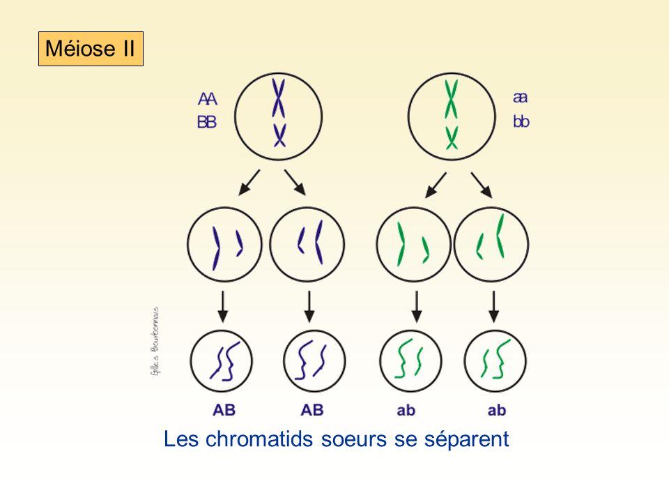Les chromosmes homologues peuvent se séparer de deux façons différentes