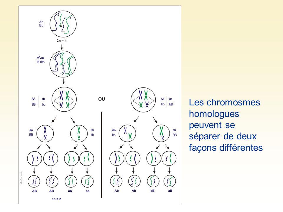 À la méiose I, chaque chromosome dédoublé spiralisé saccole à son homologue pour former une tétrade Les « bras » des chromosomes se croissent puis se brisent.