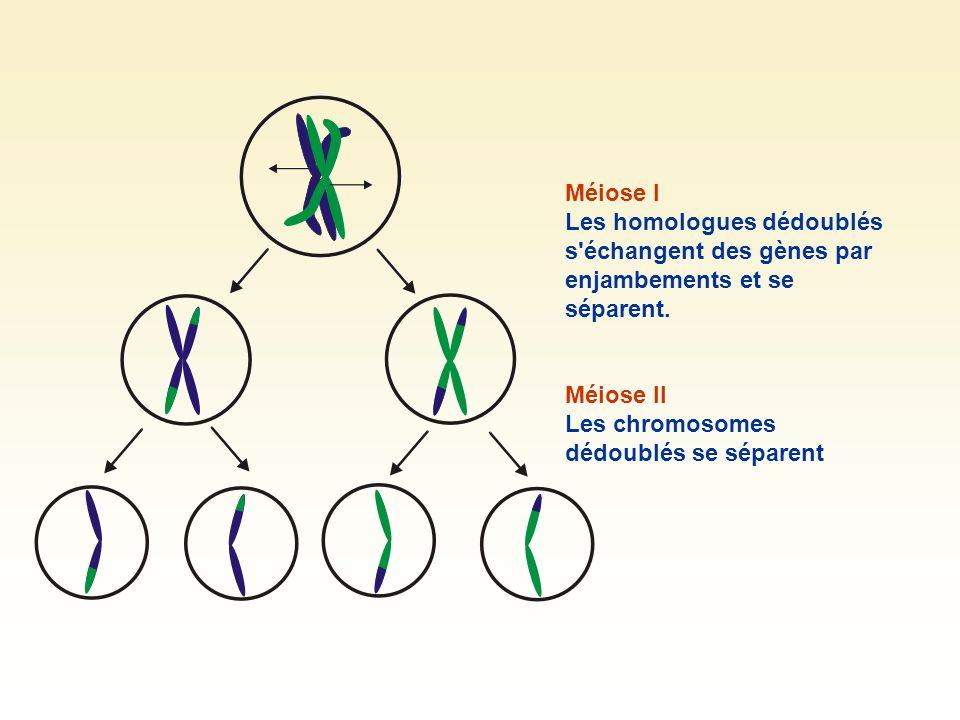Cas de non disjonction Lors de la méiose, les homologues se séparent.