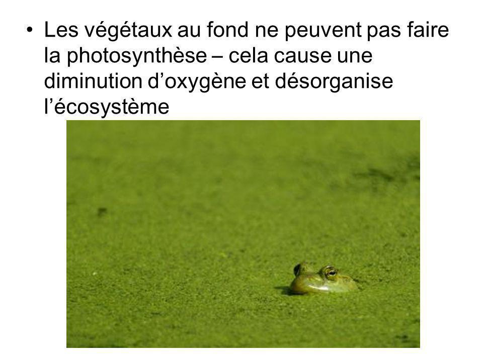 Les végétaux au fond ne peuvent pas faire la photosynthèse – cela cause une diminution doxygène et désorganise lécosystème