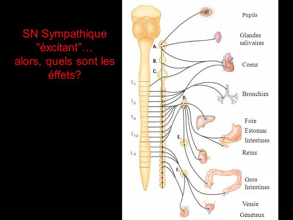 2. Systeme Nerveux Autonome: - involontaire - transmet linformation aux organes internes SN Sympathique - r é action de lutte ou fuite - pr é pare le