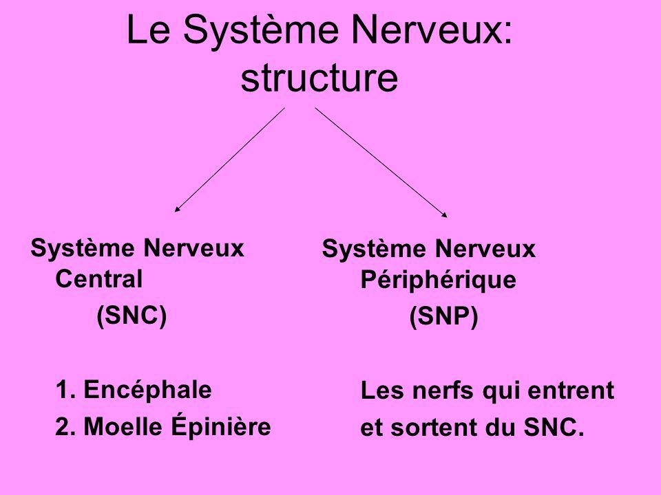 Le Système Nerveux: structure Système Nerveux Central (SNC) 1.