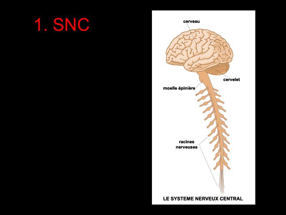 Le Système Nerveux: structure Système Nerveux Central (SNC) 1. Encéphale 2. Moelle Épinière Système Nerveux Périphérique (SNP) Les nerfs qui entrent e