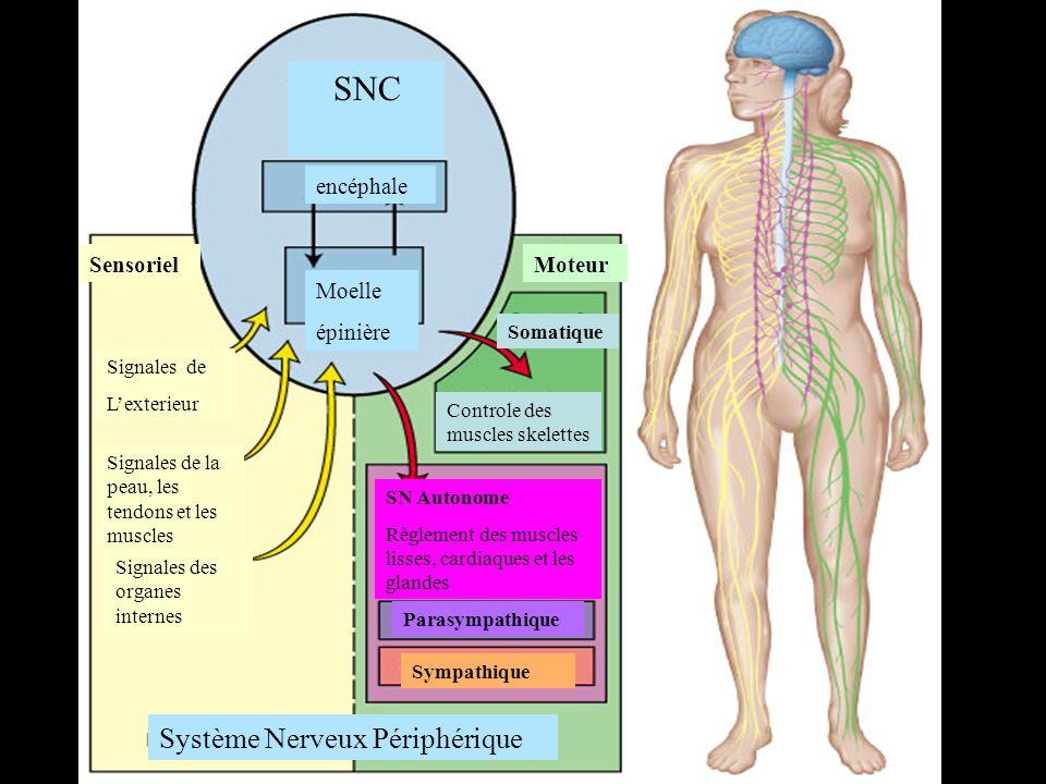 SNC encéphale Moelle épinière MoteurSensoriel Système Nerveux Périphérique Parasympathique Sympathique SN Autonome Règlement des muscles lisses, cardiaques et les glandes Somatique Controle des muscles skelettes Signales de Lexterieur Signales de la peau, les tendons et les muscles Signales des organes internes