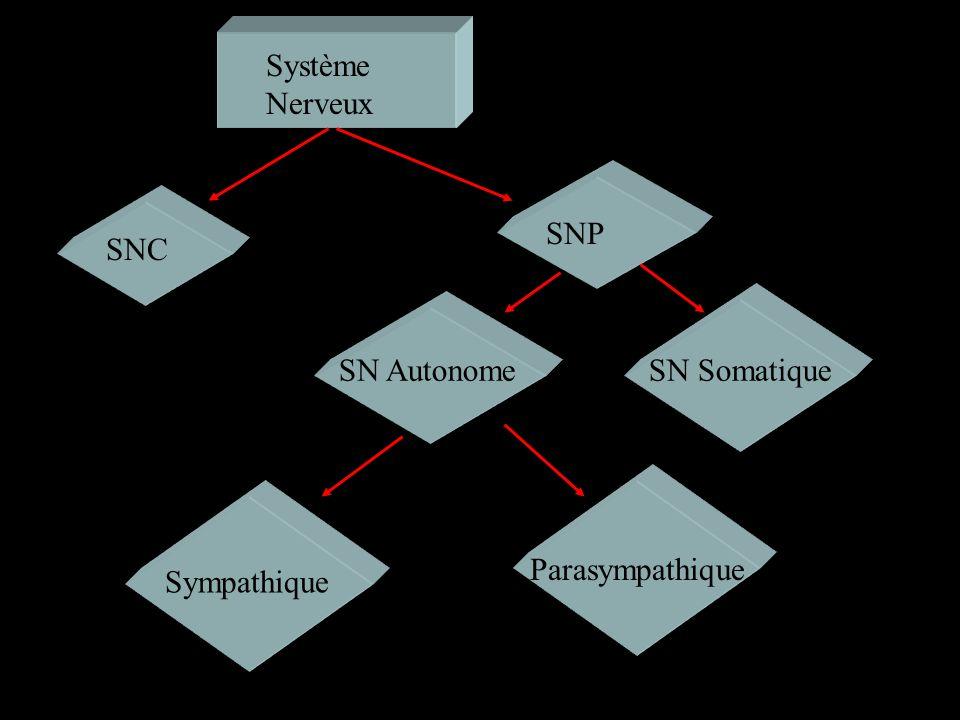 SNC encéphale Moelle épinière MoteurSensoriel Système Nerveux Périphérique Parasympathique Sympathique SN Autonome Règlement des muscles lisses, cardi