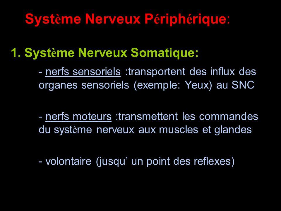 Syst è me Nerveux P é riph é rique: 1.