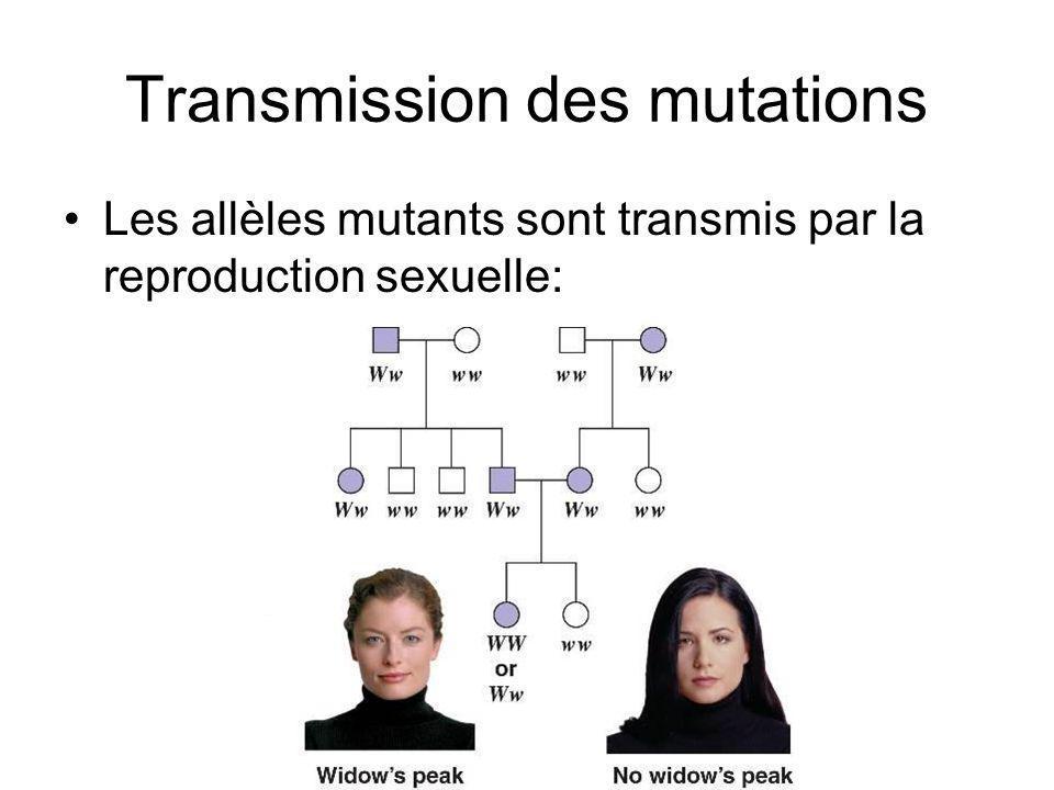 Transmission des mutations Les allèles mutants sont transmis par la reproduction sexuelle: