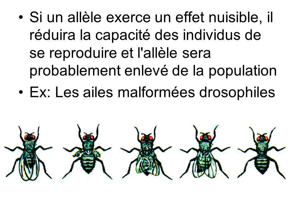 Si un allèle exerce un effet nuisible, il réduira la capacité des individus de se reproduire et l allèle sera probablement enlevé de la population Ex: Les ailes malformées drosophiles