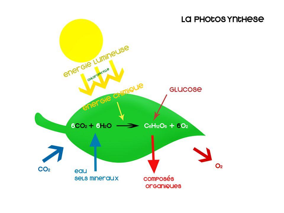 La photosynthèse Processus par lequel les végétaux synthétisent du glucose en utilisant lénergie solaire Énergie + 6CO 2 + 6H 2 O C 6 H 12 O 6 + 6O 2