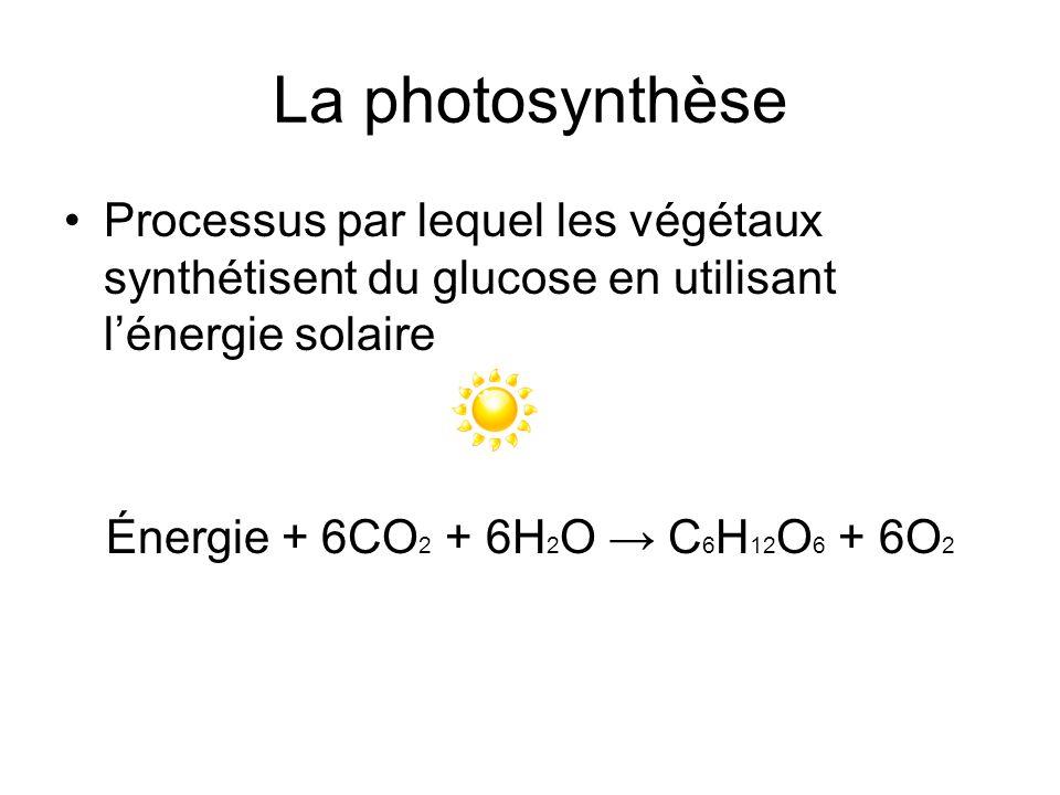 Qui fait la photosynthèse? Algues Cyanobactéries Plantes