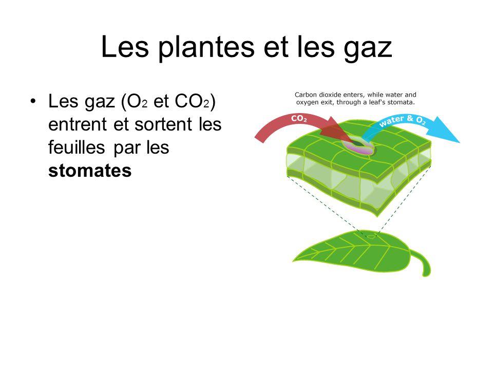 Les plantes et les gaz Les gaz (O 2 et CO 2 ) entrent et sortent les feuilles par les stomates