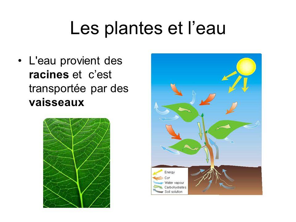 Les plantes et leau L'eau provient des racines et cest transportée par des vaisseaux