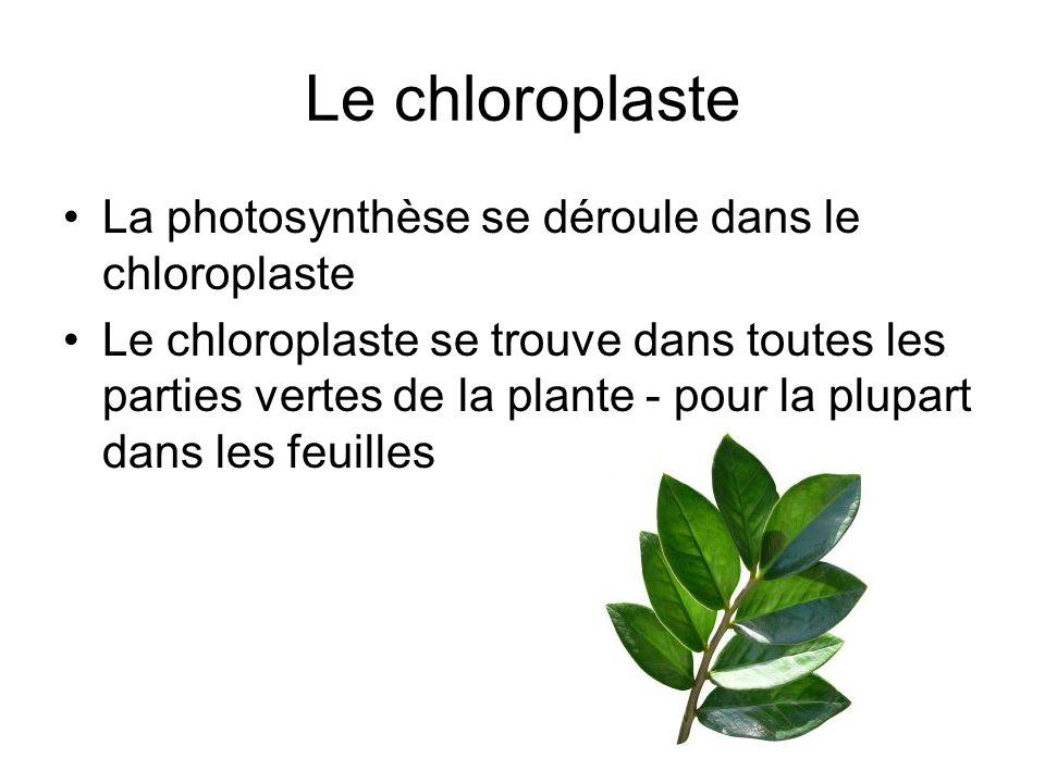 Le chloroplaste La photosynthèse se déroule dans le chloroplaste Le chloroplaste se trouve dans toutes les parties vertes de la plante - pour la plupa