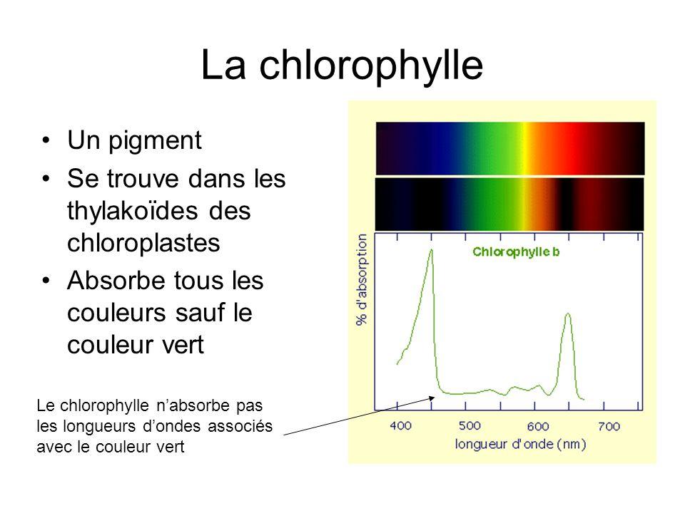 La chlorophylle Un pigment Se trouve dans les thylakoïdes des chloroplastes Absorbe tous les couleurs sauf le couleur vert Le chlorophylle nabsorbe pa