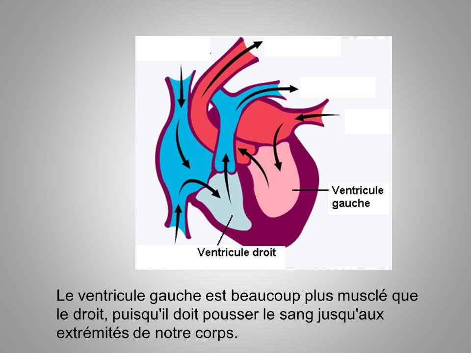Le ventricule gauche est beaucoup plus musclé que le droit, puisqu'il doit pousser le sang jusqu'aux extrémités de notre corps.