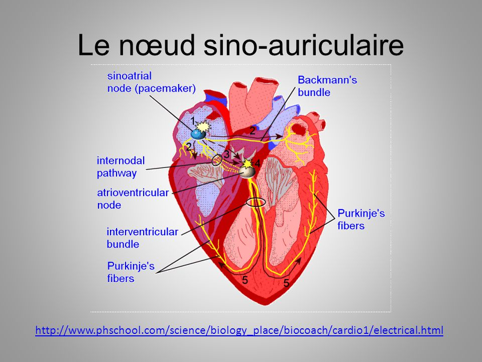 Le nœud sino-auriculaire http://www.phschool.com/science/biology_place/biocoach/cardio1/electrical.html