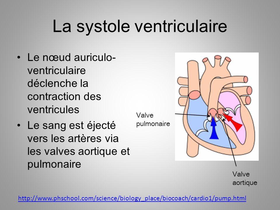 La systole ventriculaire Le nœud auriculo- ventriculaire déclenche la contraction des ventricules Le sang est éjecté vers les artères via les valves a