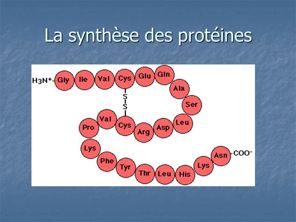 Limportance des protéines Presque tous les processus cellulaires ont besoin les protéines Presque tous les processus cellulaires ont besoin les protéines Il y a plusieurs types: Il y a plusieurs types: Enzymes (amylase) Enzymes (amylase) Protéines de transport (hémoglobine) Protéines de transport (hémoglobine) Hormones (testostérone) Hormones (testostérone)