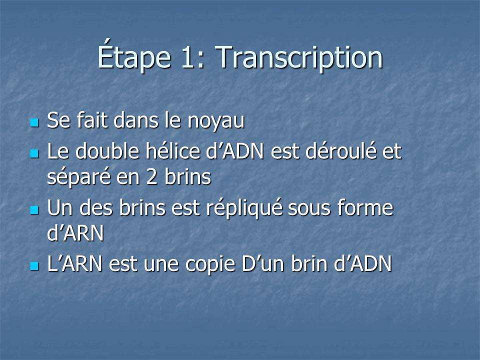 Étape 1: Transcription Se fait dans le noyau Se fait dans le noyau Le double hélice dADN est déroulé et séparé en 2 brins Le double hélice dADN est déroulé et séparé en 2 brins Un des brins est répliqué sous forme dARN Un des brins est répliqué sous forme dARN LARN est une copie Dun brin dADN LARN est une copie Dun brin dADN
