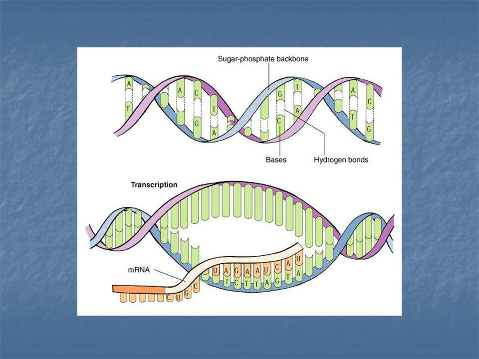 Étape 2: LARN entre le cytoplasme Le brin dARN est appelé «lARN messager» ou ARNm Le brin dARN est appelé «lARN messager» ou ARNm LARNm transporte le message dADN du noyau aux ribosomes dans le cytoplasme LARNm transporte le message dADN du noyau aux ribosomes dans le cytoplasme