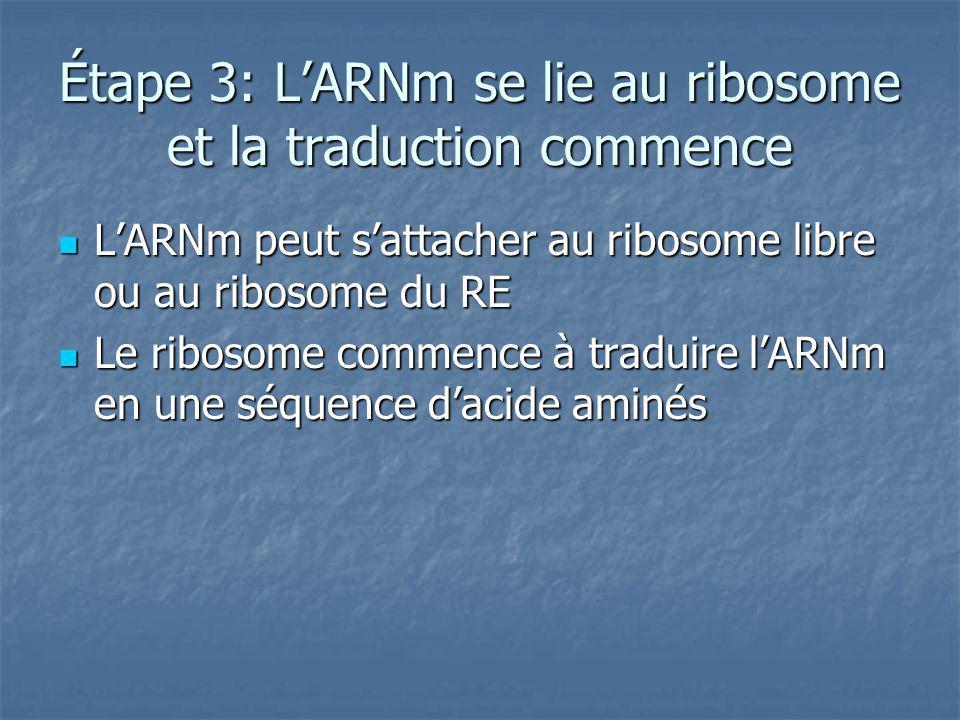 Étape 3: LARNm se lie au ribosome et la traduction commence LARNm peut sattacher au ribosome libre ou au ribosome du RE LARNm peut sattacher au ribosome libre ou au ribosome du RE Le ribosome commence à traduire lARNm en une séquence dacide aminés Le ribosome commence à traduire lARNm en une séquence dacide aminés