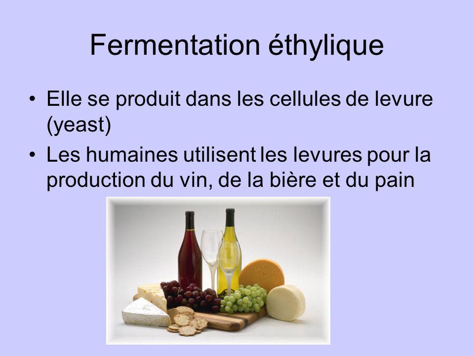 Fermentation éthylique Elle se produit dans les cellules de levure (yeast) Les humaines utilisent les levures pour la production du vin, de la bière e