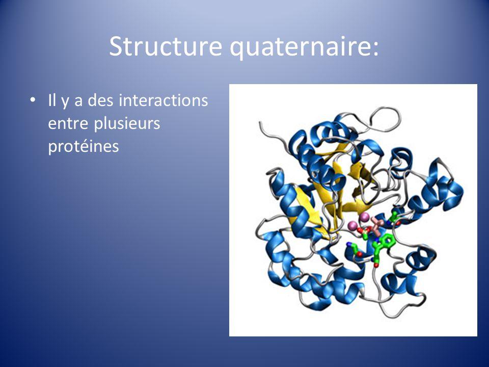 Structure quaternaire: Il y a des interactions entre plusieurs protéines