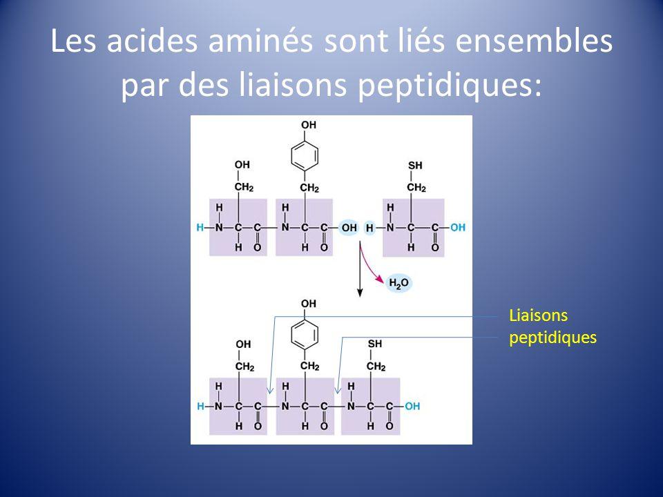 Les acides aminés sont liés ensembles par des liaisons peptidiques: Liaisons peptidiques