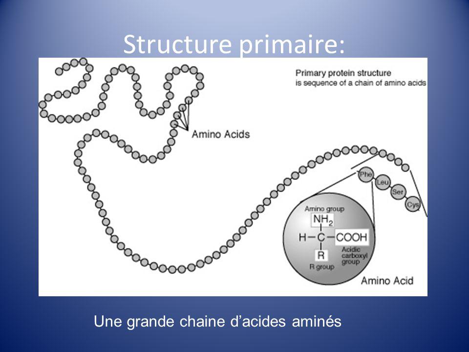 Structure secondaire: Les liaisons hydrogènes commencent a former entre les acides aminés La chaine commence à senrouler (hélice) ou se plier (feuillet)