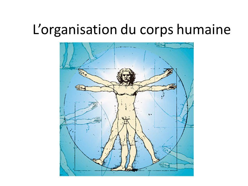 Lorganisation du corps humaine