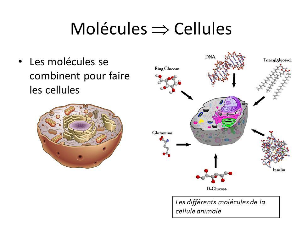 Molécules Cellules Les molécules se combinent pour faire les cellules Les différents molécules de la cellule animale