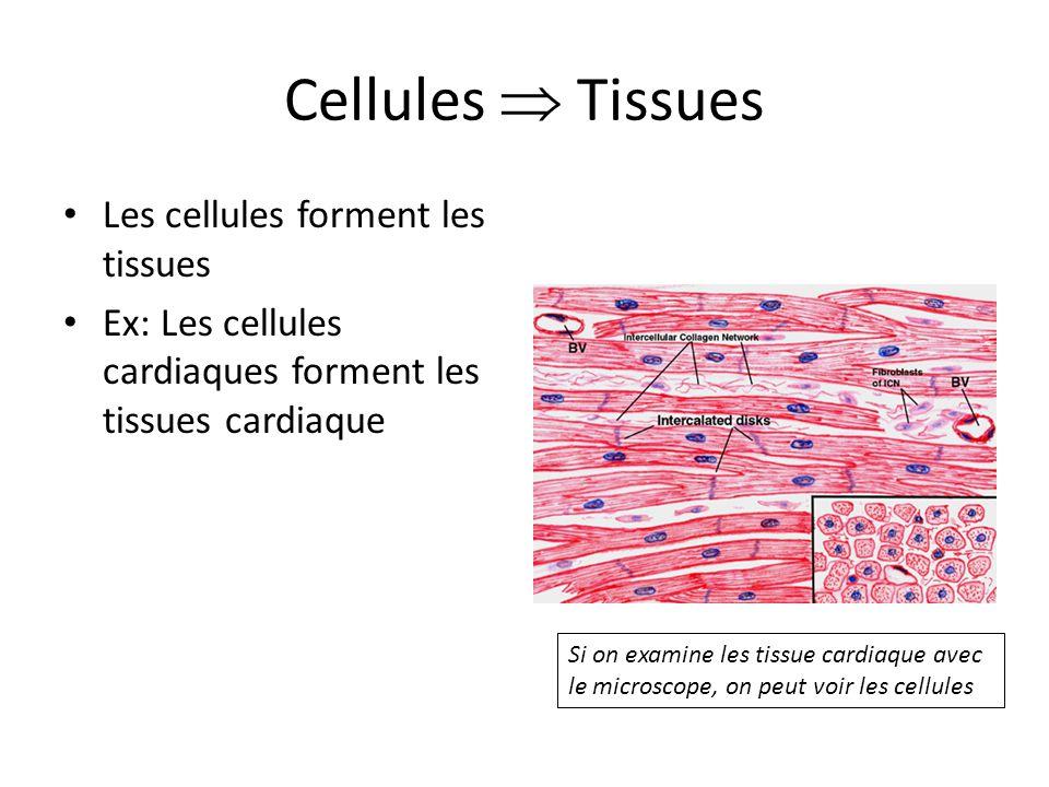 Cellules Tissues Les cellules forment les tissues Ex: Les cellules cardiaques forment les tissues cardiaque Si on examine les tissue cardiaque avec le