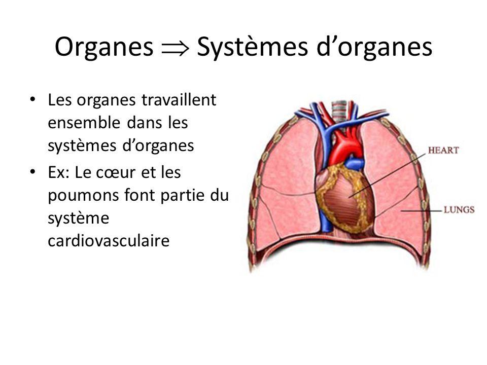 Organes Systèmes dorganes Les organes travaillent ensemble dans les systèmes dorganes Ex: Le cœur et les poumons font partie du système cardiovasculai