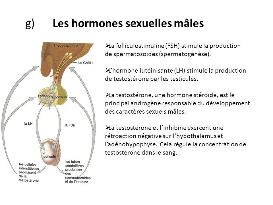 g)Les hormones sexuelles mâles La folliculostimuline (FSH) stimule la production de spermatozoïdes (spermatogénèse). Lhormone lutéinisante (LH) stimul