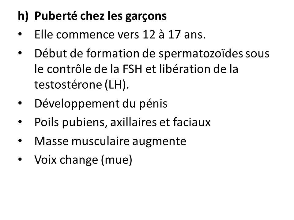 h)Puberté chez les garçons Elle commence vers 12 à 17 ans. Début de formation de spermatozoïdes sous le contrôle de la FSH et libération de la testost