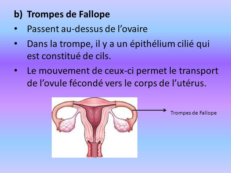 b)Trompes de Fallope Passent au-dessus de lovaire Dans la trompe, il y a un épithélium cilié qui est constitué de cils. Le mouvement de ceux-ci permet