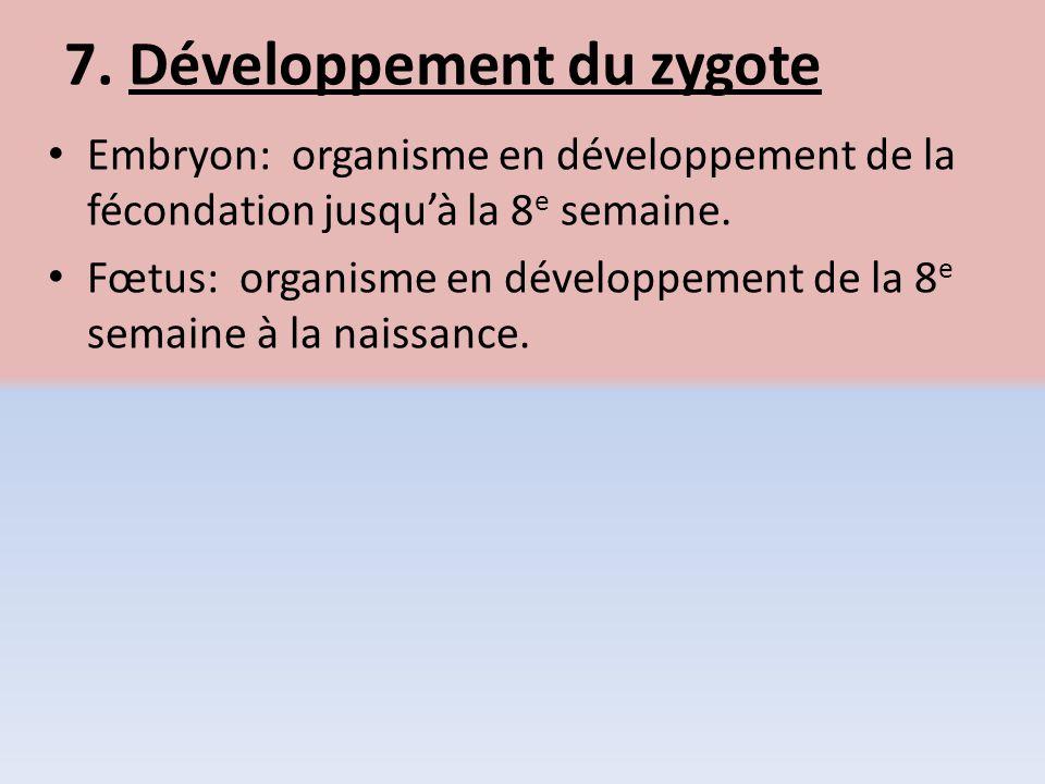 7. Développement du zygote Embryon: organisme en développement de la fécondation jusquà la 8 e semaine. Fœtus: organisme en développement de la 8 e se