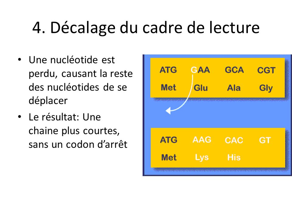 4. Décalage du cadre de lecture Une nucléotide est perdu, causant la reste des nucléotides de se déplacer Le résultat: Une chaine plus courtes, sans u