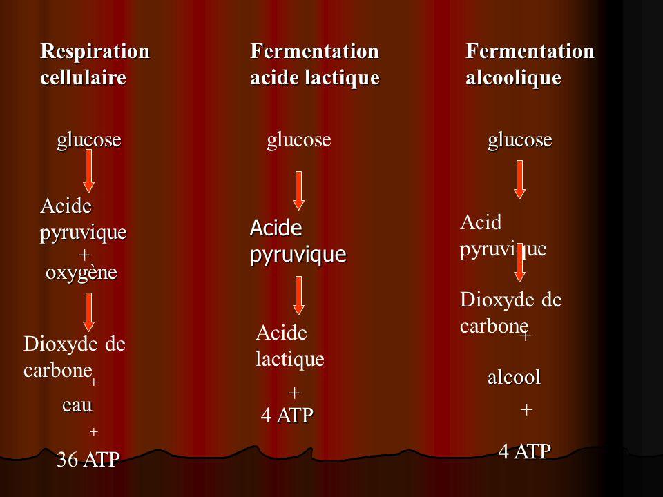 Respirationcellulaire Fermentation acide lactique Fermentationalcoolique Acide pyruvique + oxygène Dioxyde de carbone + eau + ATP 36 ATP glucoseglucose Acide lactique + ATP 4 ATP glucose Acid pyruvique Dioxyde de carbone alcool ATP 4 ATP + + Acide pyruvique