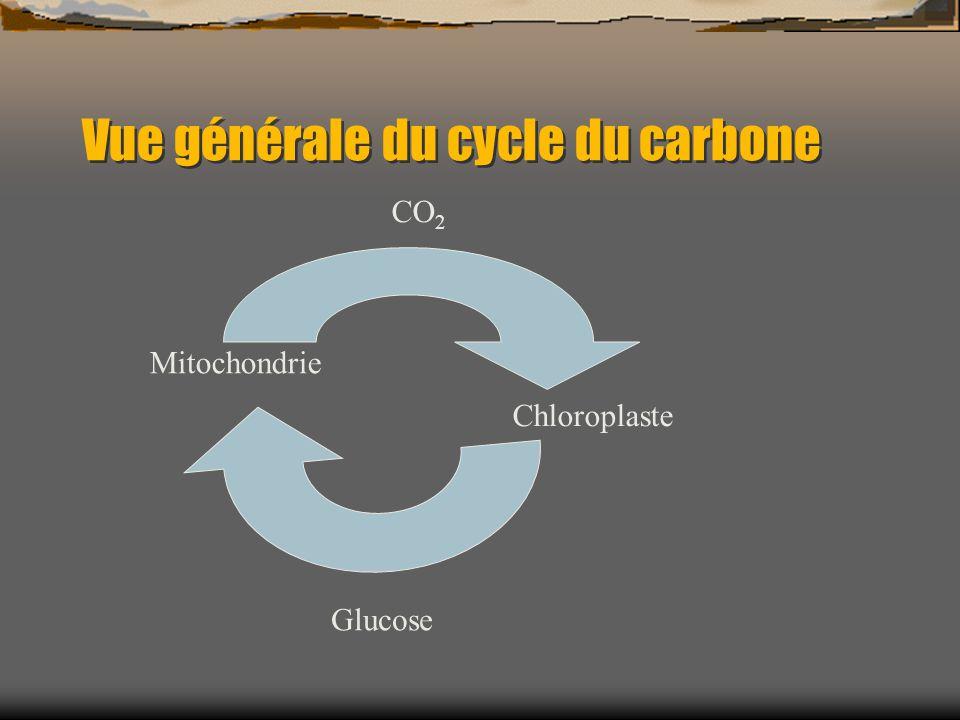 Vue générale du cycle du carbone Mitochondrie Chloroplaste Glucose CO 2
