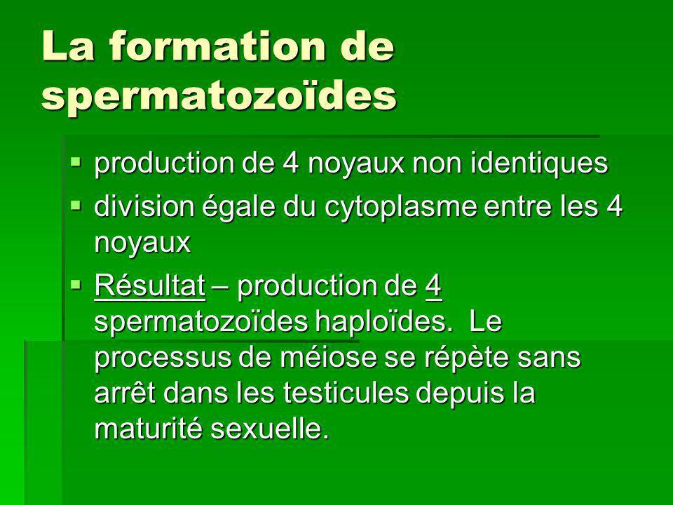 La formation de spermatozoïdes production de 4 noyaux non identiques production de 4 noyaux non identiques division égale du cytoplasme entre les 4 no