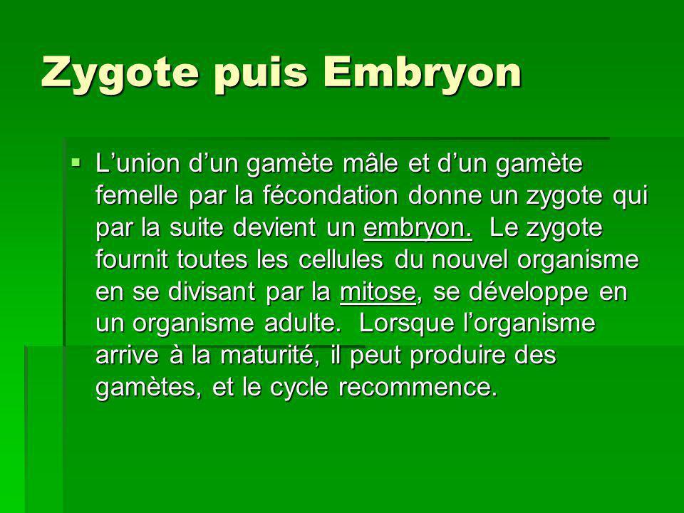 Zygote puis Embryon Lunion dun gamète mâle et dun gamète femelle par la fécondation donne un zygote qui par la suite devient un embryon. Le zygote fou
