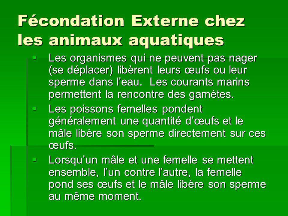 Fécondation Externe chez les animaux aquatiques Les organismes qui ne peuvent pas nager (se déplacer) libèrent leurs œufs ou leur sperme dans leau. Le