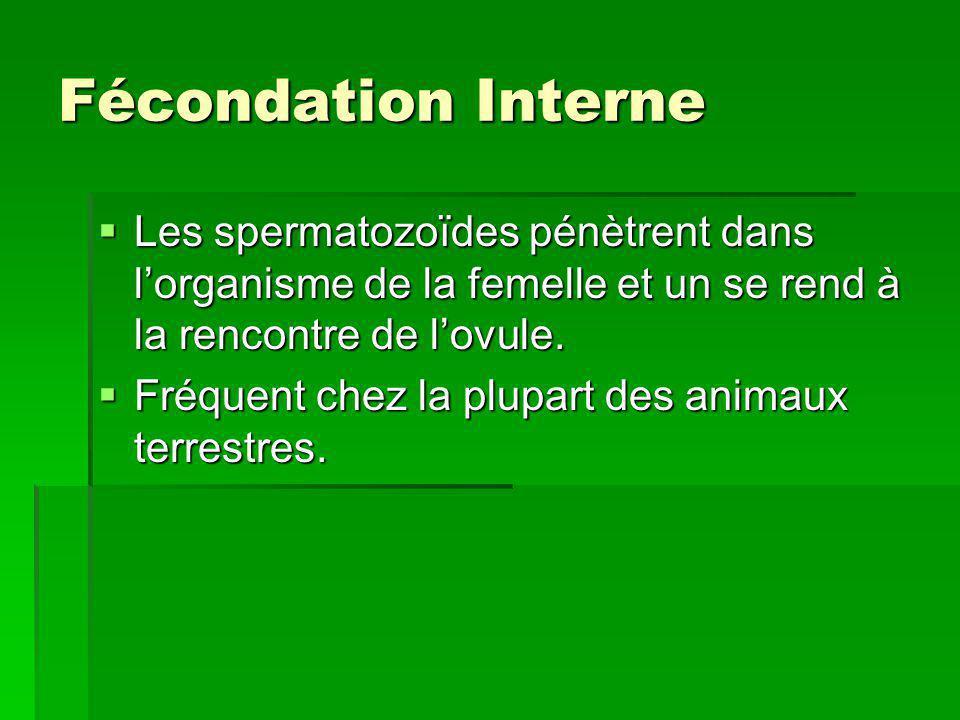Fécondation Interne Les spermatozoïdes pénètrent dans lorganisme de la femelle et un se rend à la rencontre de lovule. Les spermatozoïdes pénètrent da