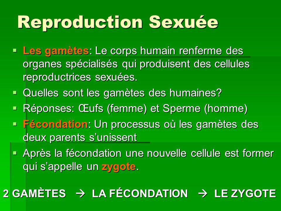 Reproduction Sexuée Les gamètes: Le corps humain renferme des organes spécialisés qui produisent des cellules reproductrices sexuées. Les gamètes: Le