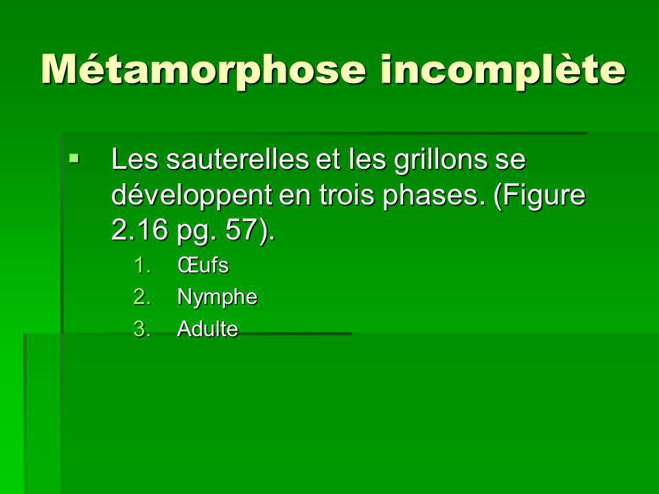 Métamorphose incomplète Les sauterelles et les grillons se développent en trois phases. (Figure 2.16 pg. 57). Les sauterelles et les grillons se dével